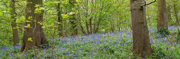 Bluebells in Mixed Deciduous Woodland: Nabs wood