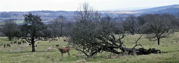 Deer with mature and veteran trees in Stainborough parklands