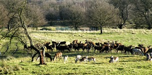Group of deer in Stainborough parkland